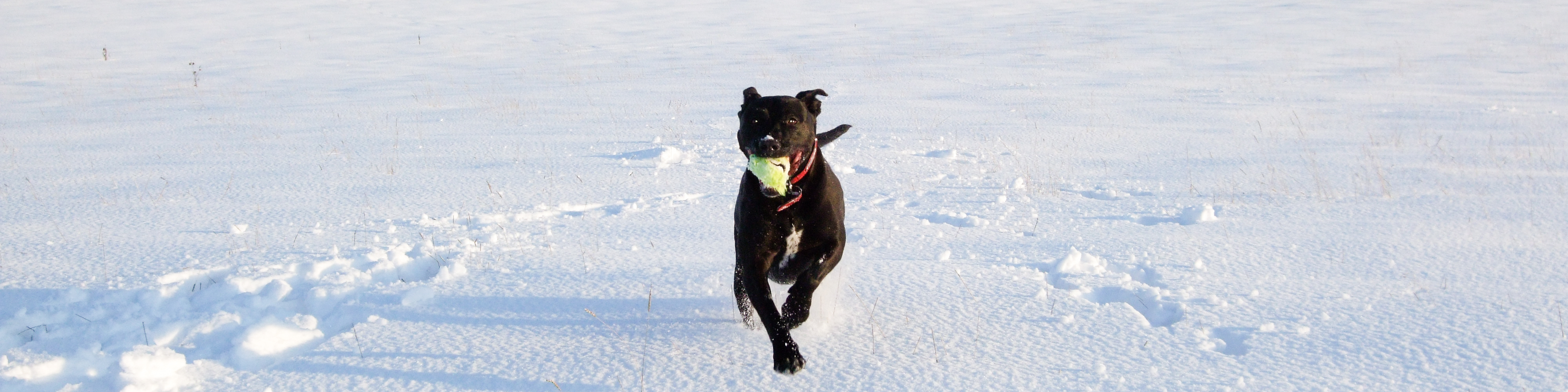 Playful staffy rescue dog in snow