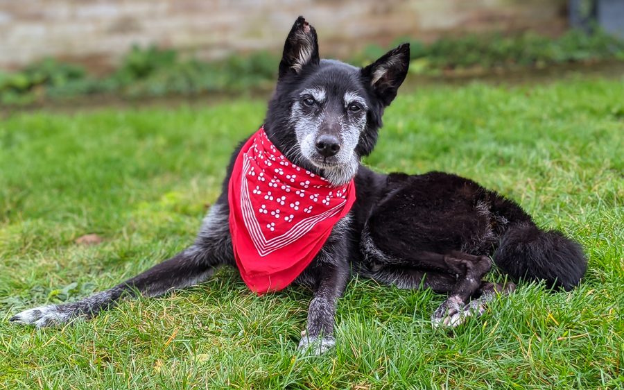 Starrydog a black border collie looking at the camera wearing a red bandana